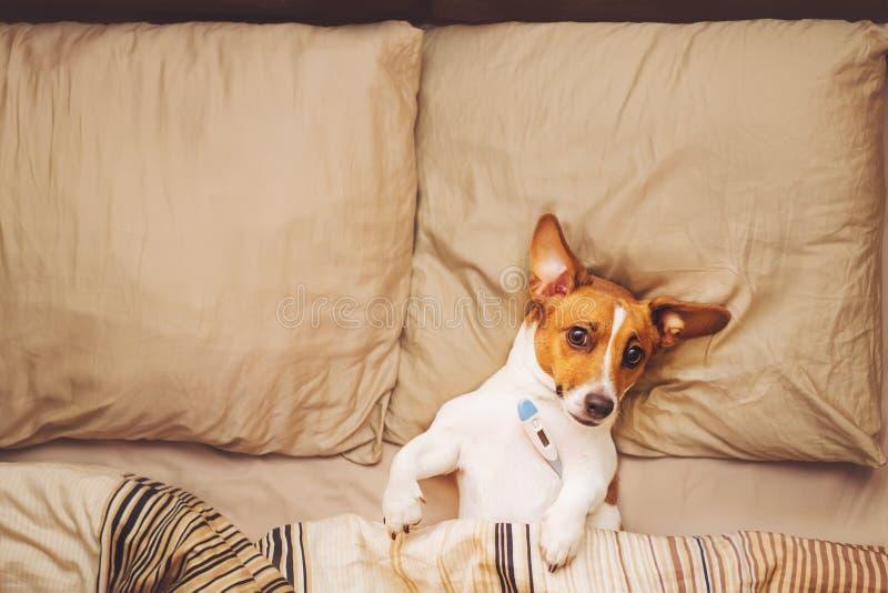 Cão bonito sob a edredão com febre e temperatura imagens de stock