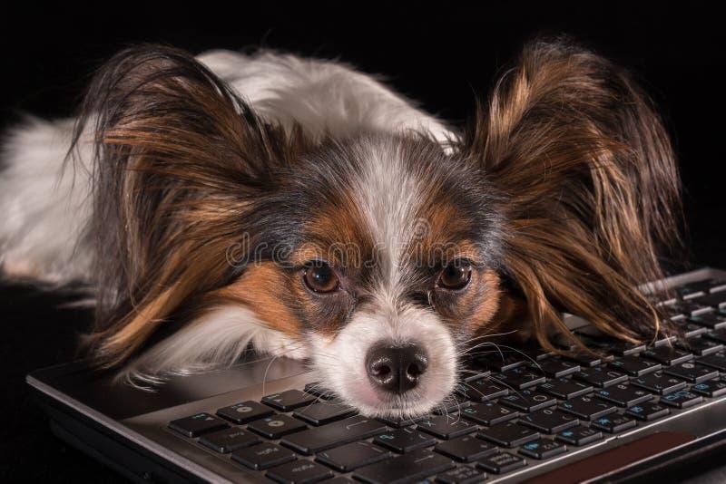 Cão bonito Toy Spaniel Papillon continental cansado do trabalho no portátil no fundo preto fotografia de stock