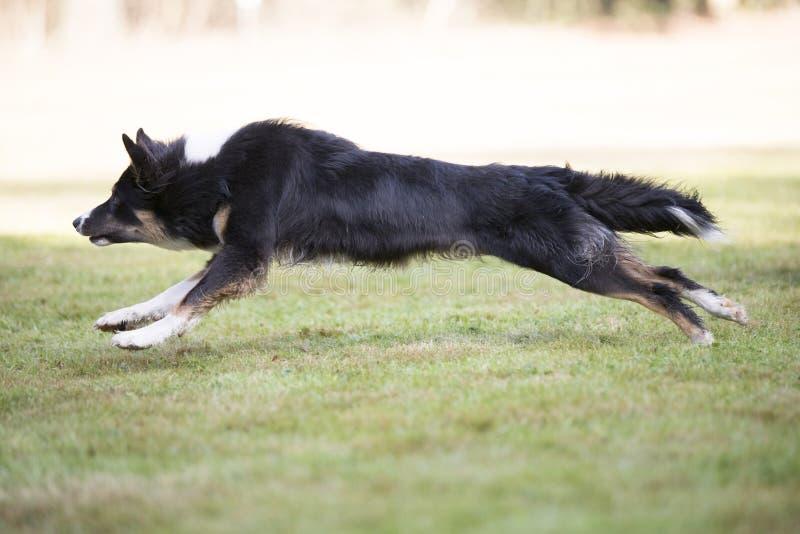 Cão, border collie, corredor, vista lateral fotografia de stock royalty free