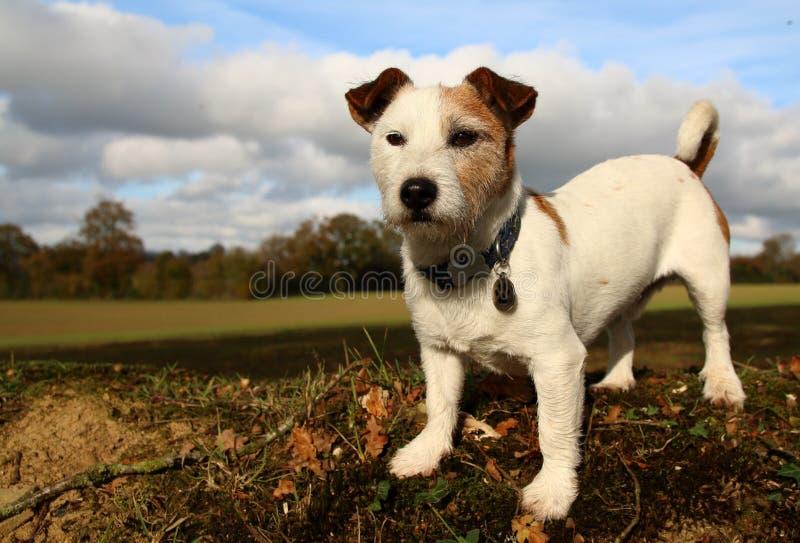 Cão branco imagens de stock
