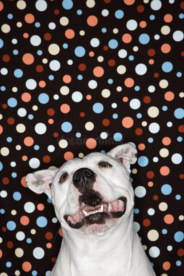 Cão branco de encontro ao fundo do ponto de polca. imagens de stock royalty free