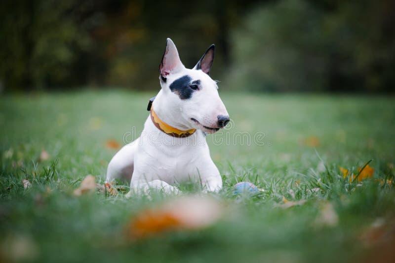 Cão branco de raça-touro com ponto preto está na grama do parque imagens de stock royalty free