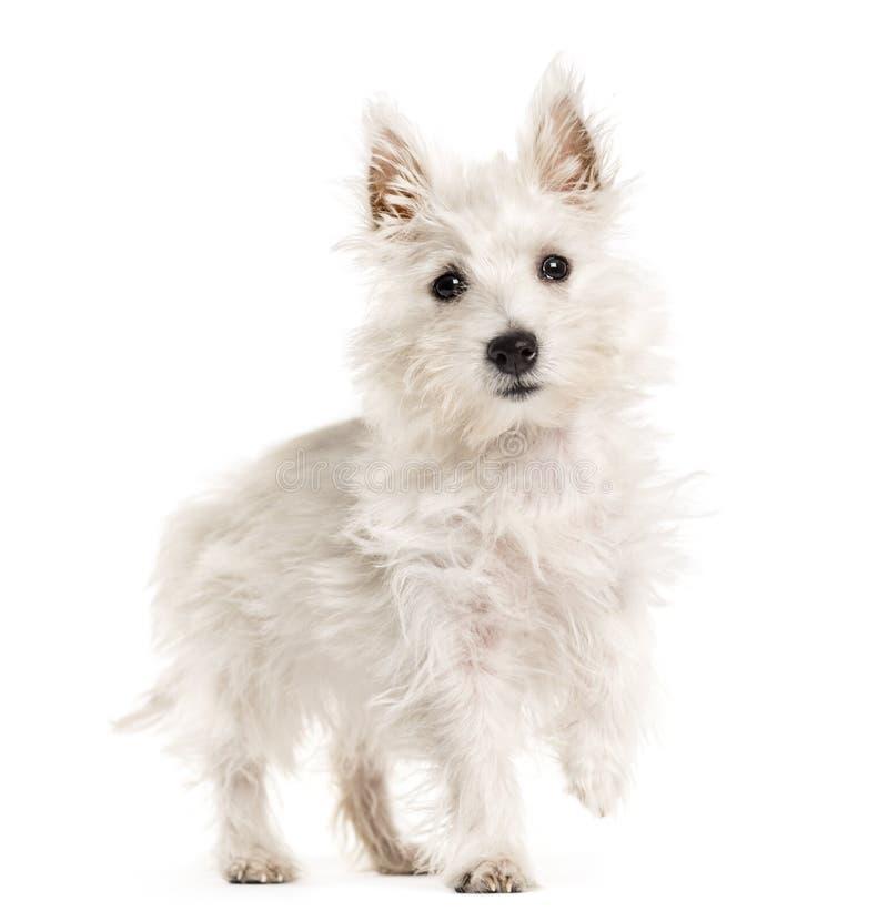 Cão branco de Terrie das montanhas ocidentais, westie, andando, isolado no wh fotografia de stock