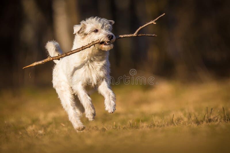 Cão branco do schnauzer foto de stock royalty free
