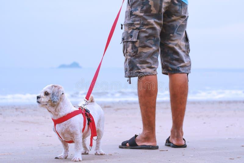 Cão branco do tzu de Shih do cabelo curto e um homem que está no Sandy Beach branco foto de stock royalty free