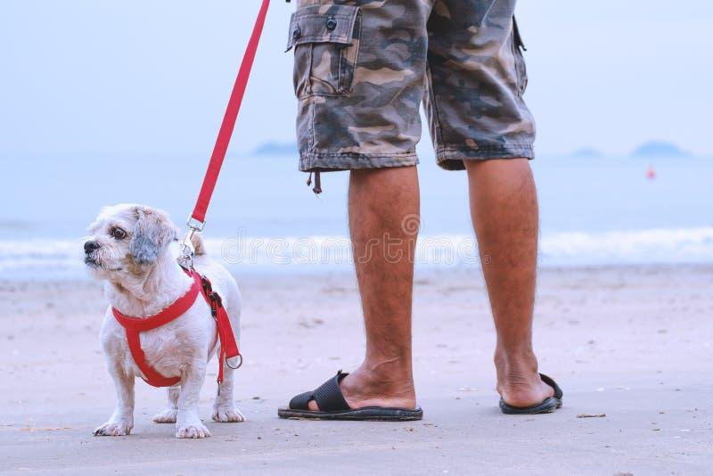 Cão branco do tzu de Shih do cabelo curto e um homem que está no Sandy Beach branco foto de stock