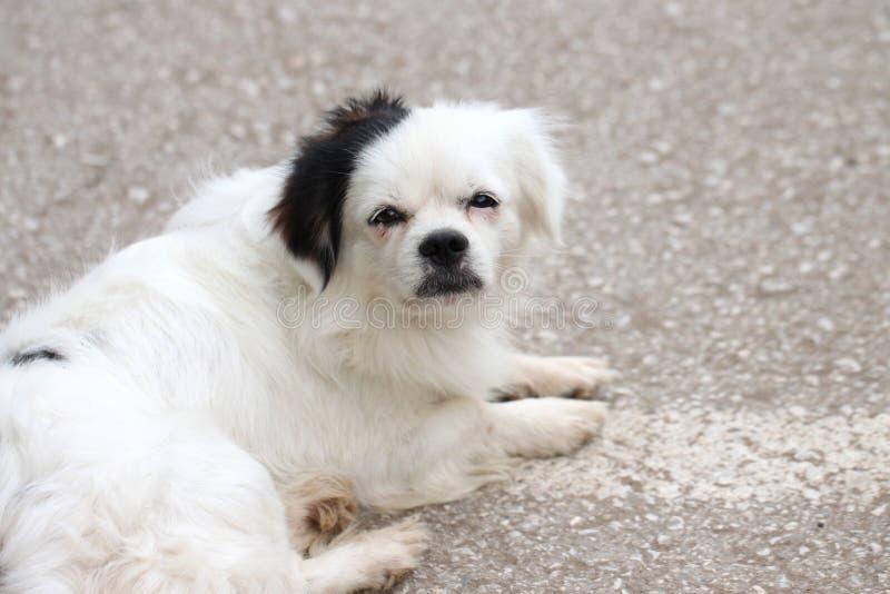 Cão branco dormente imagem de stock royalty free
