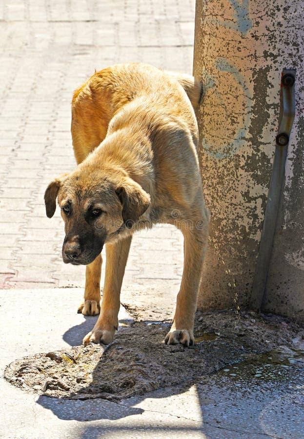 Cão branco e marrom da rua que urina em uma parede imagem de stock
