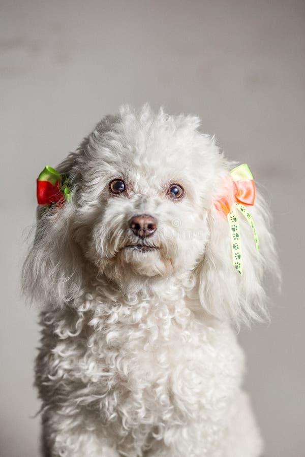 Cão branco em um fundo cinzento que olha a câmera com os laços amarelos e da laranja em seus orelhas e cabelo branco encaracolado imagens de stock royalty free