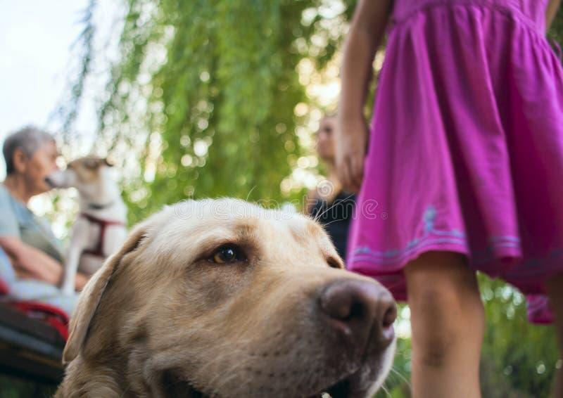 Cão branco grande que encontra-se para baixo Olhe de um cão Cabeça de Labrador Menina com seu cão fotografia de stock royalty free
