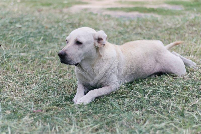 Cão branco Labrador que encontra-se na grama imagem de stock royalty free