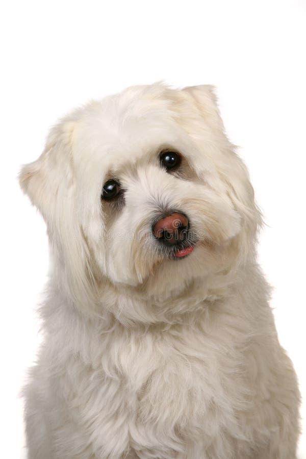 Cão branco lamentável de Mut com olhos grandes imagem de stock