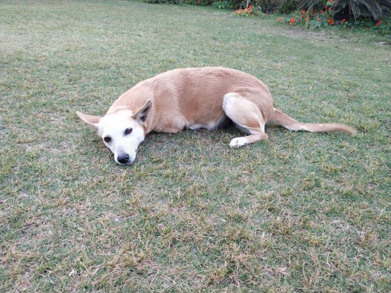 cão branco marrom que descansa na grama foto de stock royalty free