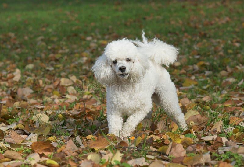 Cão branco no parque fotos de stock royalty free