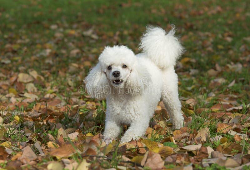 Cão branco no parque foto de stock royalty free
