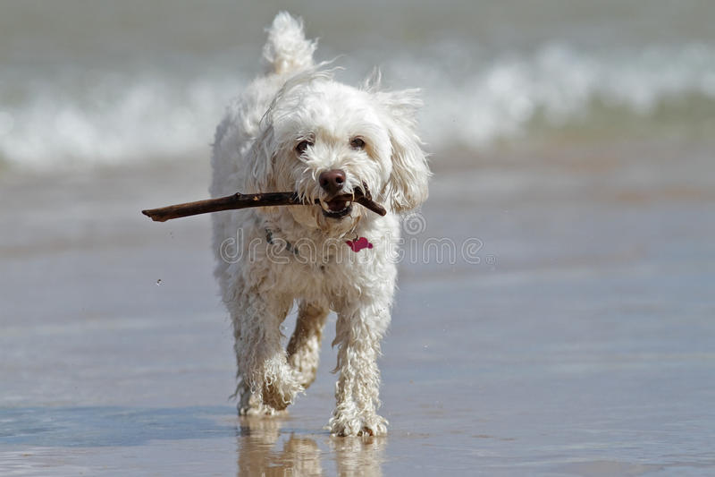 Cão branco pequeno que leva uma vara na praia foto de stock