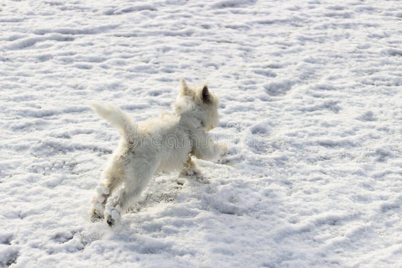 Cão branco que corre e que salta na neve imagens de stock royalty free
