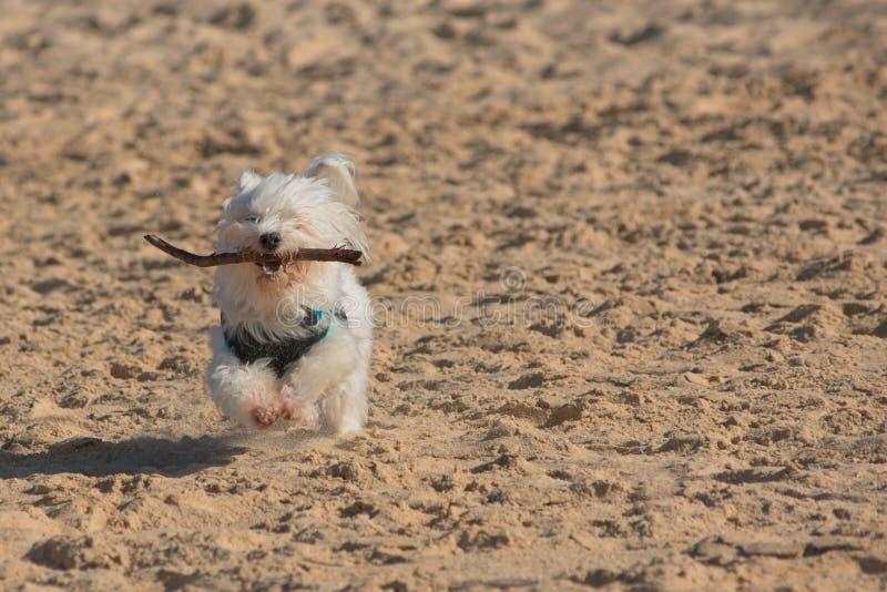 Cão branco que corre rapidamente na praia imagem de stock