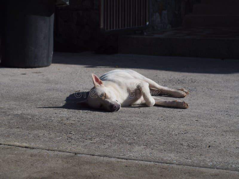 Cão branco que dorme no assoalho concreto para receber o calor do sol da manhã do dia foto de stock royalty free