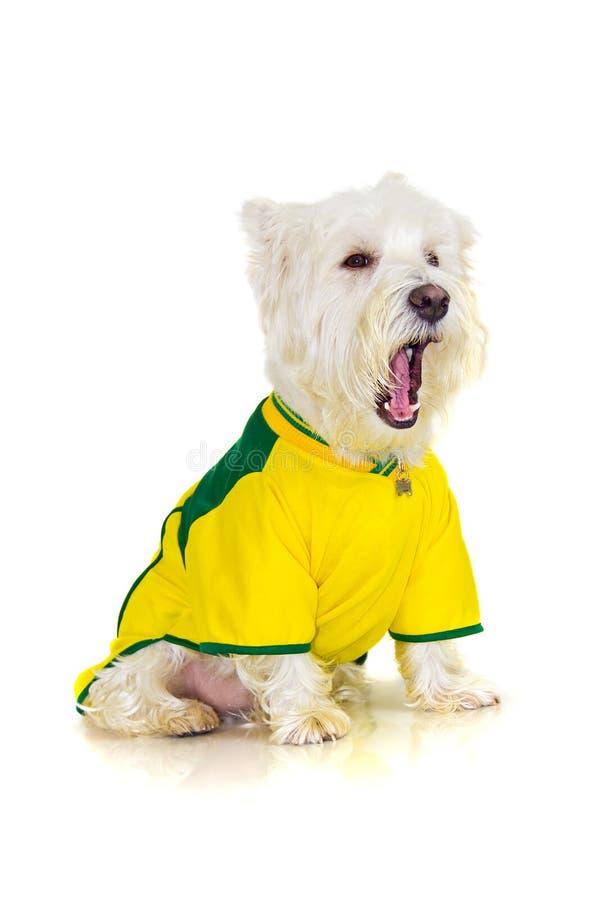 Cão brasileiro do westie que queixa-se em um jogo de futebol foto de stock