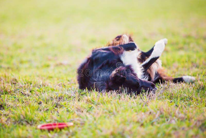 Cão brincalhão do puro-sangue de border collie que joga fora o rolamento ao redor para baixo na grama verde Cachorrinho adorável  fotos de stock
