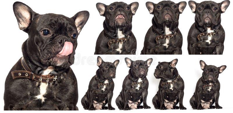 cão-buldogue francês num branco imagens de stock
