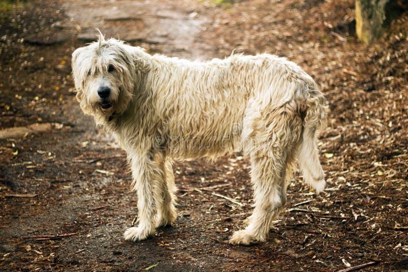Cão caçador de lobos irlandês em Forest Path imagem de stock