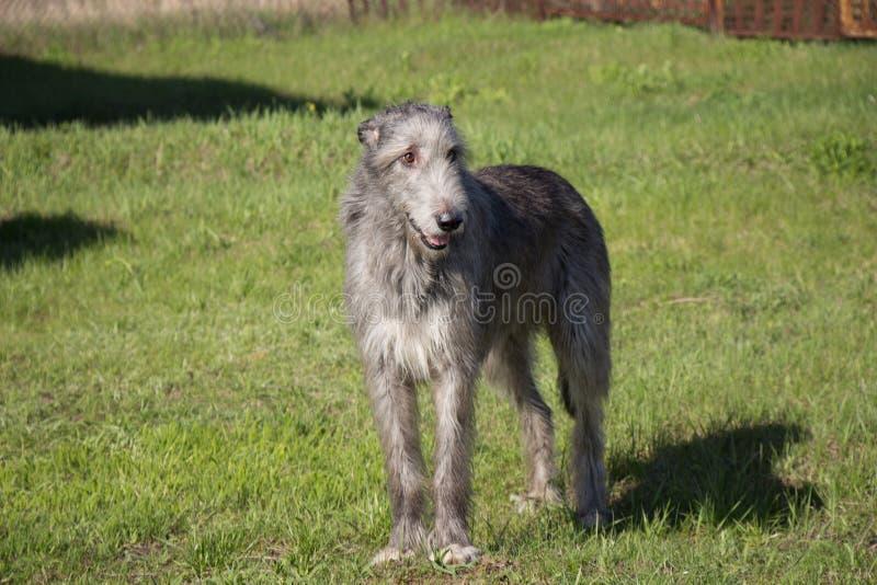 Cão caçador de lobos irlandês no mar Mar de Azov Rússia fotos de stock royalty free