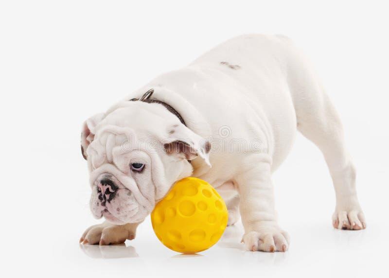 Cão Cachorrinho inglês do buldogue no fundo branco imagem de stock