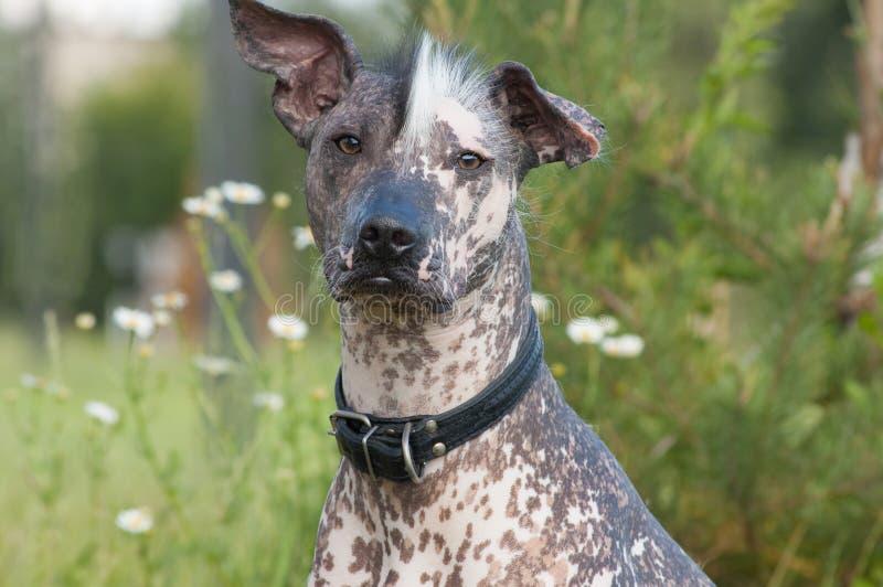 Cão calvo engraçado imagem de stock royalty free