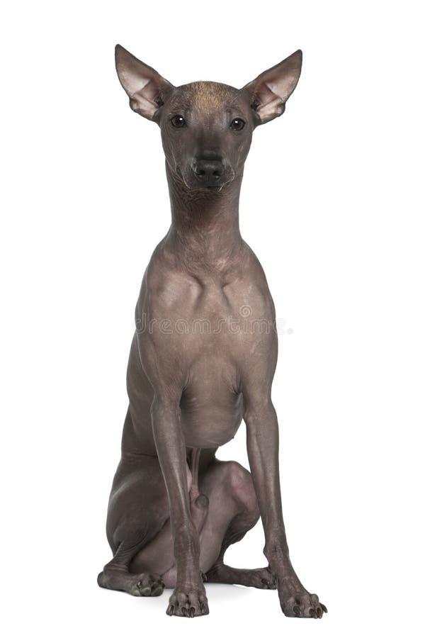 Cão calvo peruano, 8 meses velho, sentando-se fotos de stock