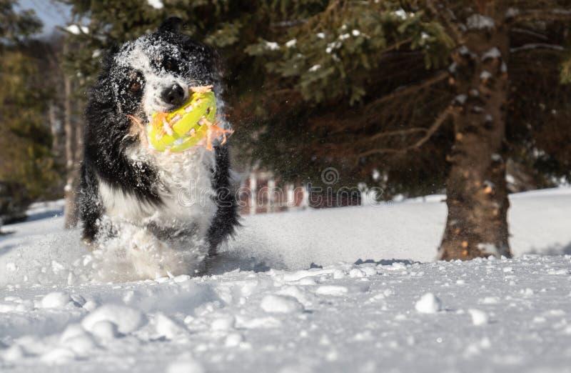 Cão coberto de neve que tem o divertimento do inverno fotografia de stock