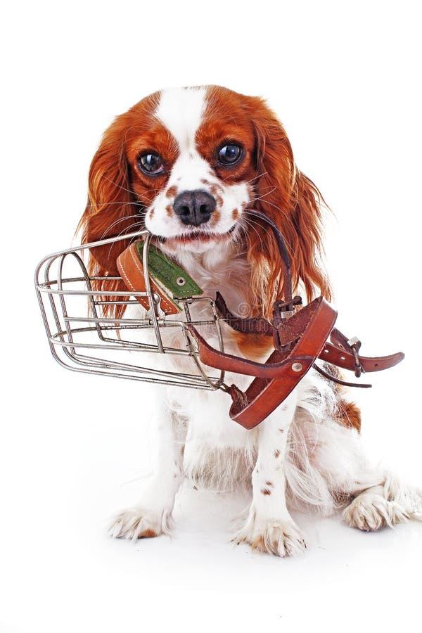 Cão com açaime Evite cães da caranga da mordida Foto descuidado do cão do spaniel de rei Charles Cão de cachorrinho descuidado bo fotos de stock