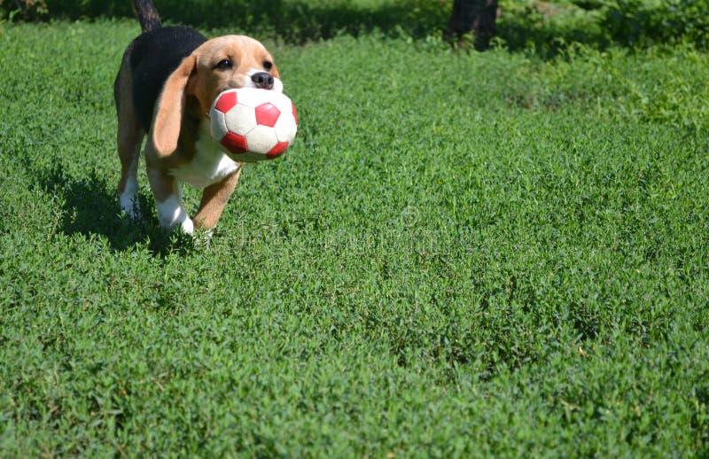 Cão com a bola que corre na grama imagem de stock