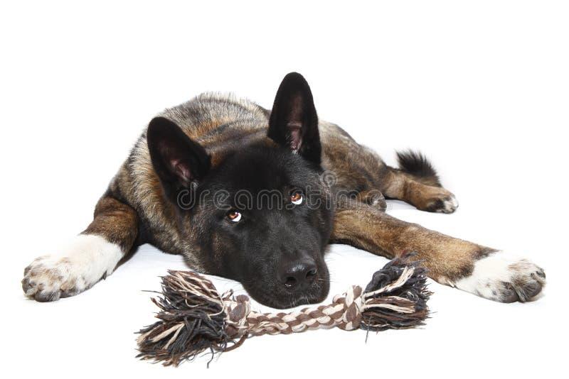 Cão com brinquedo fotografia de stock
