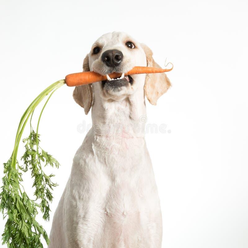 Cão com cenoura imagens de stock
