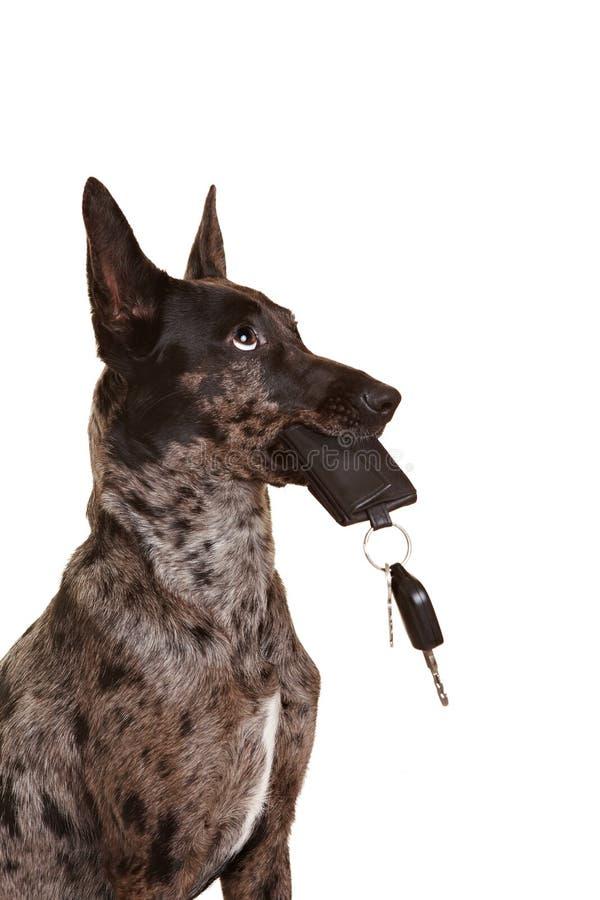 Cão com chaves do carro em seu açaime fotografia de stock royalty free