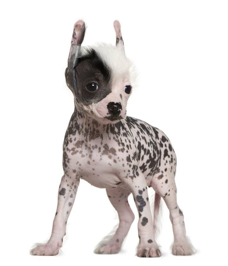 Cão com crista calvo chinês, 6 semanas velho fotos de stock