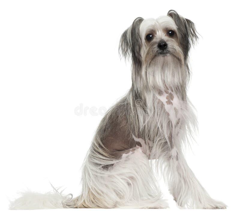 Cão com crista chinês, 11 meses velho, sentando-se fotografia de stock royalty free