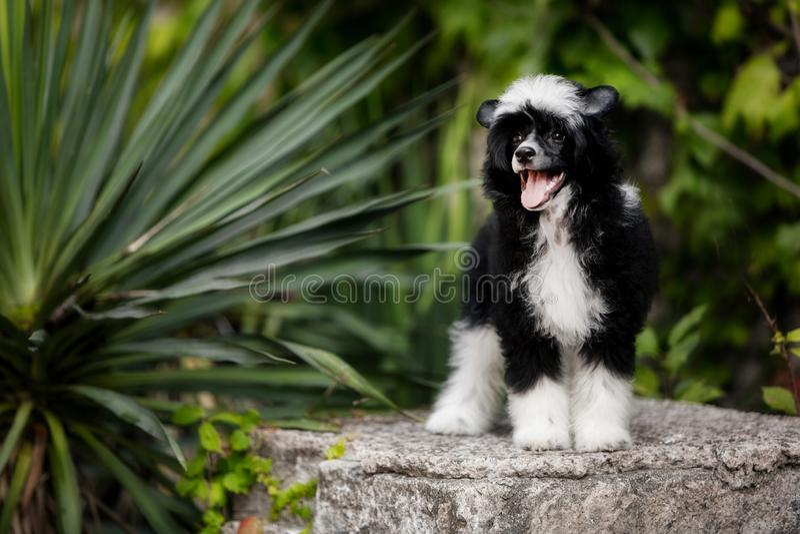 Cão com crista chinês colocado em escadas na natureza na luz do sol imagem de stock royalty free