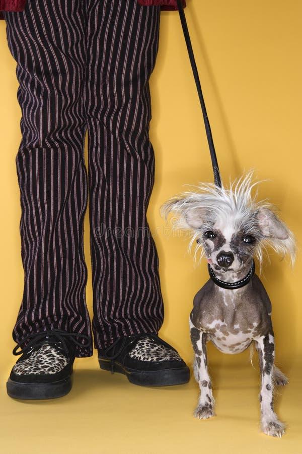 Cão com crista chinês na trela. fotos de stock