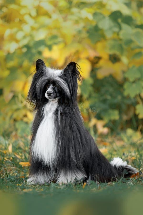 Cão com crista chinês para sentar-se na grama Parque verde no fundo fotografia de stock royalty free