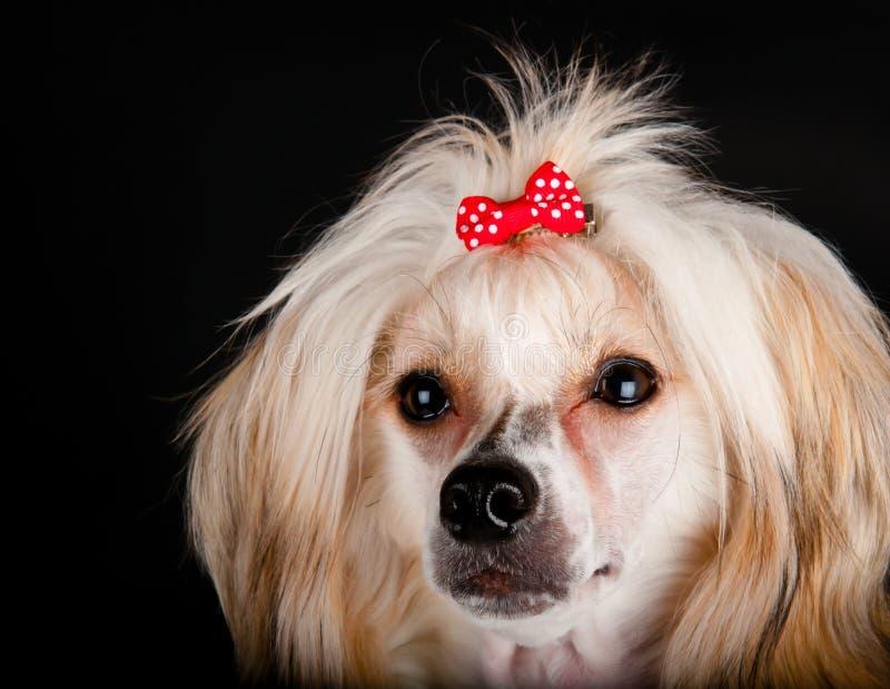 Cão com crista chinês preparado imagem de stock royalty free