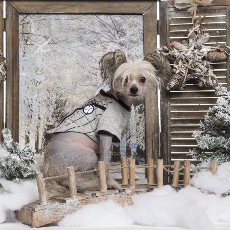Cão com crista chinês vestido-acima em um cenário do inverno foto de stock