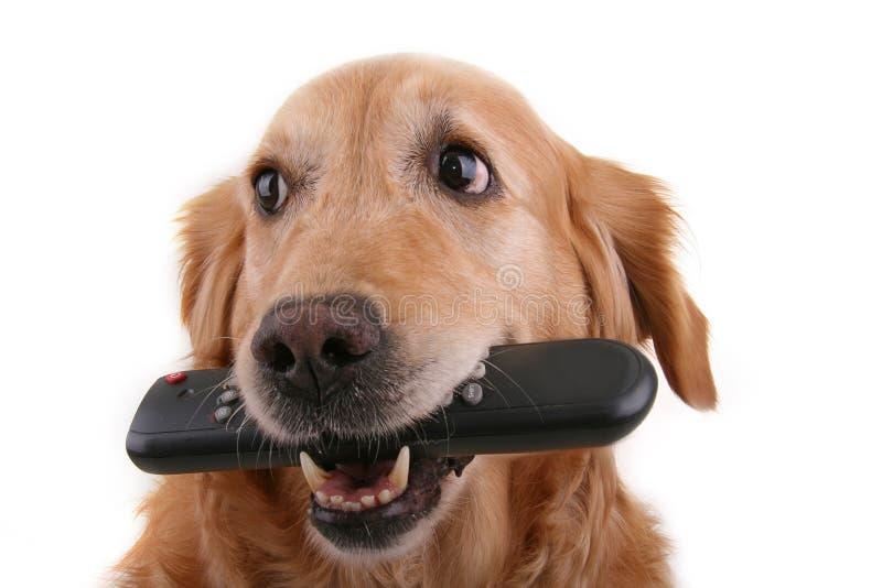 Cão com de controle remoto fotografia de stock