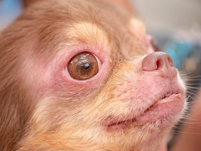 cão com Demodicosis, pele do cão da alergia fotografia de stock royalty free