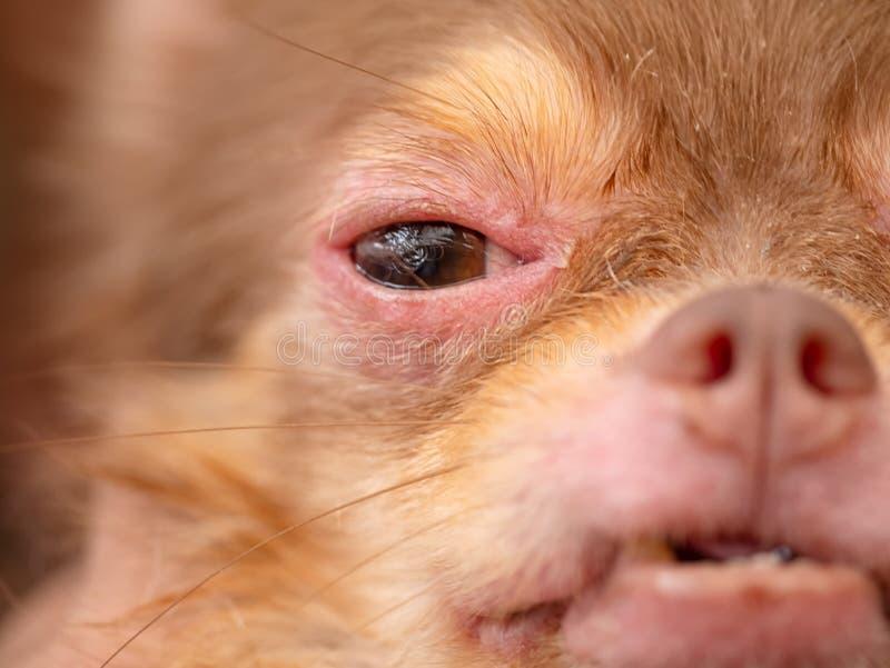 cão com Demodicosis, pele do cão da alergia imagens de stock royalty free