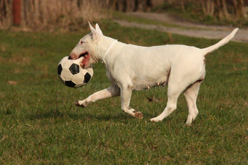 Cão com esfera foto de stock