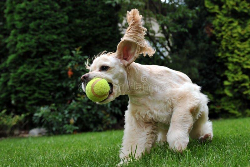 Cão com esfera de tênis fotos de stock