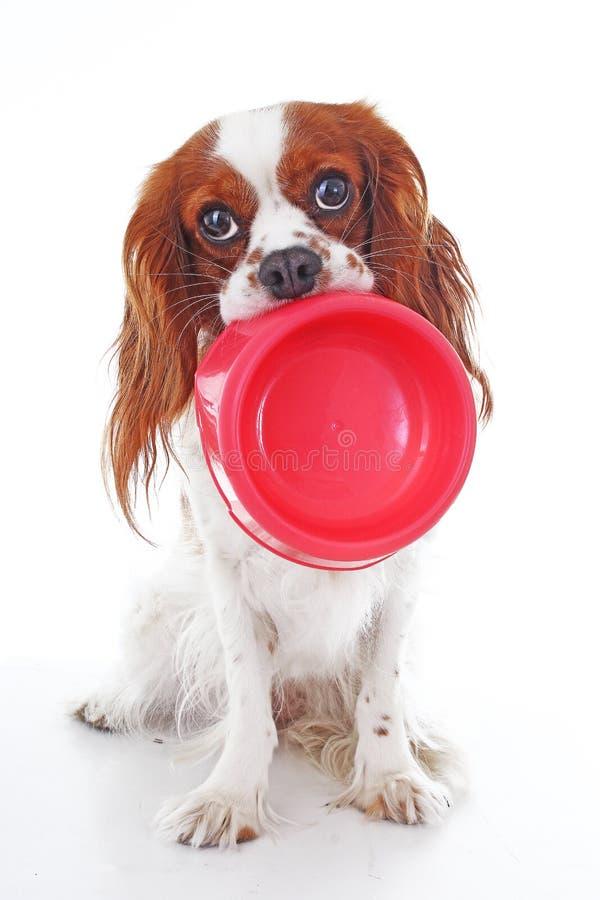 Cão com fome com bacia A foto descuidado bonito do cão do spaniel de rei Charles no branco do estúdio isolou o fundo Cão cortado fotos de stock royalty free